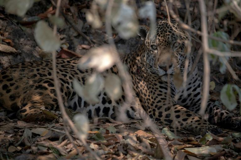 Recuperado das feridas causadas por incêndios no Pantanal, onça Ousado volta a seu hábitat