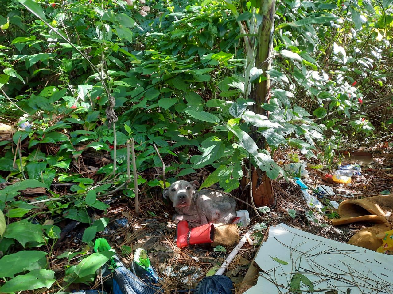 Amparo Animal: Guarda Municipal de Florianópolis e Dibea resgatam cão abandonado no Norte da Ilha