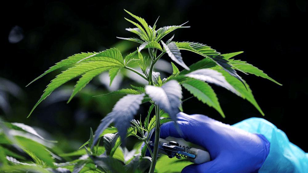 Canabidiol Farmanguinhos:  Anvisa autoriza produto à base de cannabis em projeto com a Fiocruz